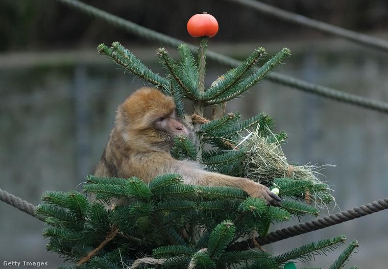 Ennek oka, hogy a karácsonyfaként felhasznált fákra a használat során mérgező anyagok kerülhettek, így azok nem biztonságosak az állatok számára.