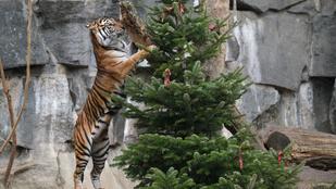 Jó helyet találtak az eladatlan karácsonyfáknak Berlinben
