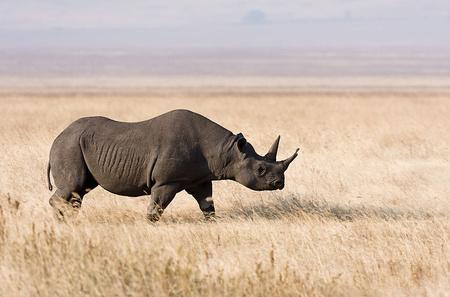 800px-Ngorongoro Spitzmaulnashorn edit1