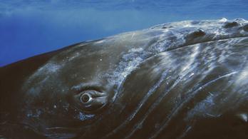 Szájhagyomány útján terjednek a bálnanóták