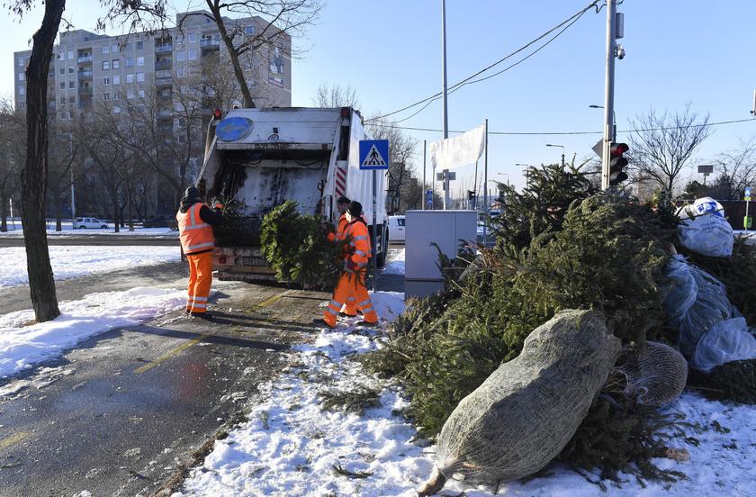 A dolgozók január 7-én megkezdték a kidobott karácsonyfák elszállítását. A fenyőket hulladékgyűjtő teherautóba pakolják - a kép Kőbányán készült.