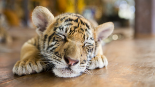Vajon dorombol a tigris, ha simogatod?