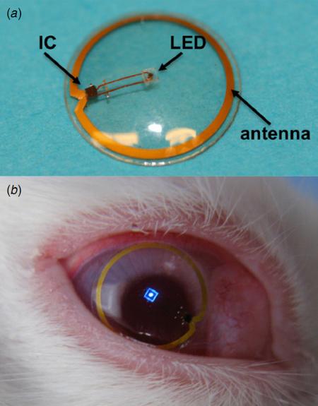 A lencse egy nyúl szemében (forrás: Institute of Physics)