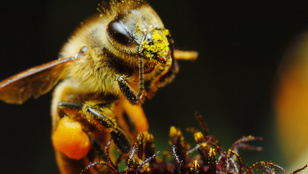 A növények hallják a méheket, és közeledtükre édesebbé teszik a nektárt
