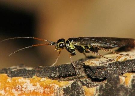 xyela-nigroabscondita