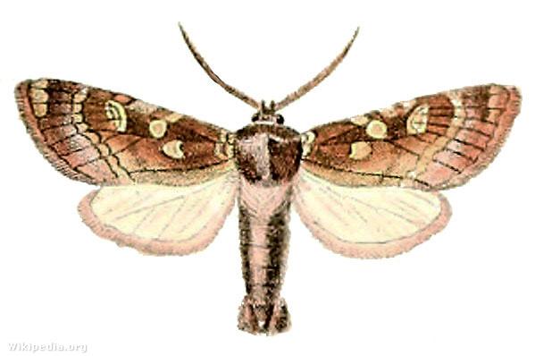 A nagy szikibagolylepke (Gortyna borelii)