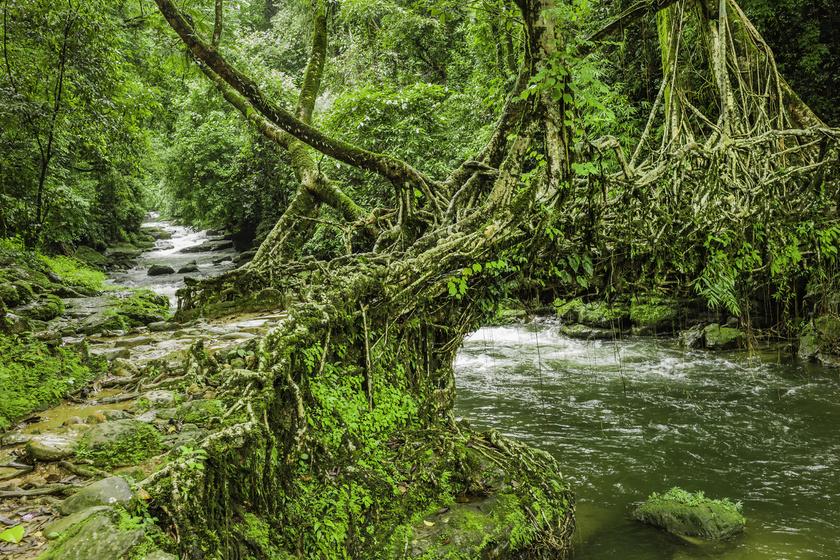 Gyönyörű, élő hidak a világban: az ősi építési módszer tényleg tiszteli a természetet