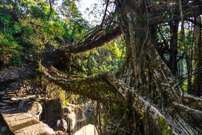 India Meghalaya nevű régiójában több különleges, élő hidat is emeltek, így Nongria faluban is. Ezeket a hidakat többnyire a bételfa gyökeréből növesztik, célzottan egymásba fonva.