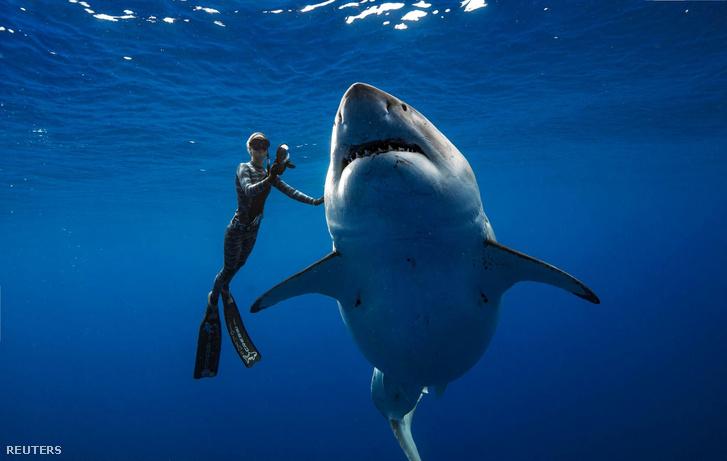 A Deep Blue becenevű cápa 2019. január 17-én