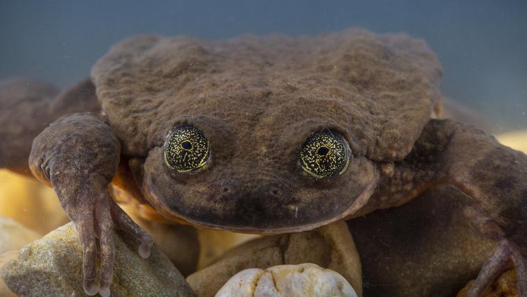 Energiától duzzadó szexpartnert találtak egy tíz éve remeteként élő Sehuencas-vízibékának