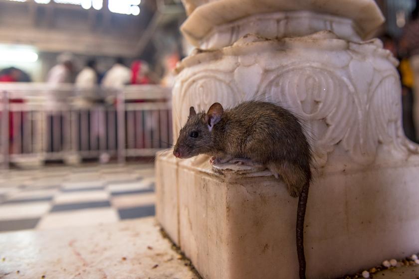 Tele van patkánnyal a templom, mégis özönlenek a turisták: a Karni Mata nagyon furcsa hely