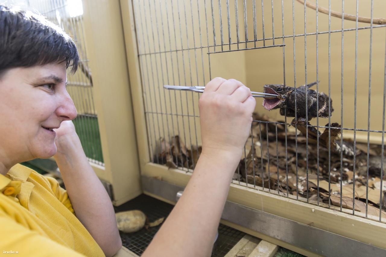 Az állatoknak egy része sérült, megmérgezték vagy elütötték őket, üvegfalnak repültek, de sokszor elárvult fiókák vagy kölykök is bekerülnek, amelyeknek igazán nincs bajuk, de hogy ne pusztuljanak el, gondoskodni kell róluk. Ami persze nem is olyan könnyű meló, a gondozóknak a költési időszakban 80-100 csivitelő fióka száját kell betömni kétóránként valami étellel, kisemlősökhöz pedig éjszaka is fel kell kelni. A lábadozó lappanytú etetése is nagy türelmet igényel, a gyanakvó madár csak hosszas unszolásra tátja ki hatalmas csőrét.