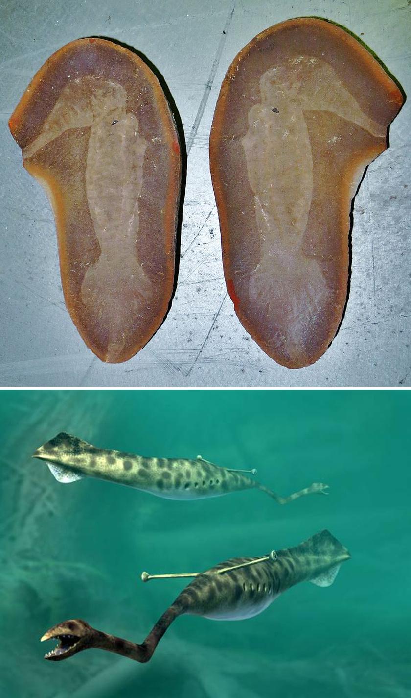 1955-ben fedezte fel Amerikában, Illinois-ban Francis Tully, innen kapta a nevét a Tully-szörny, azaz a Tullimonstrum. Furcsa kinézete sok kérdést felvetett, hiszen ehhez hasonló állatot ma nem is tartunk számon. Tekintve, hogy a fosszília elképesztően régi, valamiféle ősi, kihalt lényre következtettek a tudósok. 300 millió éve élt, ami egészen elképesztő. Puhatestű kétéltű lehetett, mely trópusi partok saras területein és a vízben élt.