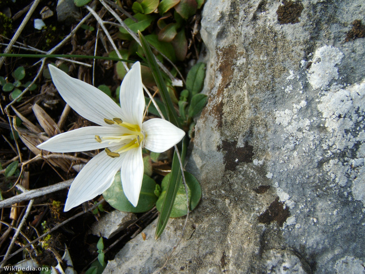 Magyar kikerics (Colchicum hungaricum)