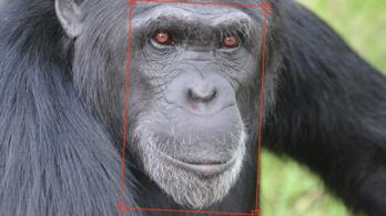 Arcfelismeréssel küzdenek az illegális csimpánzkereskedelem ellen