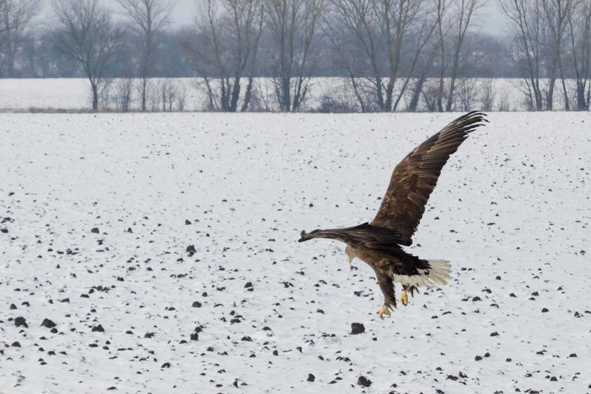 Áramütés érte a védett madarat: azt hitték, nem épül fel, de meglepetést okozott