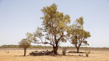 Tömegesen pusztulnak a vadállatok a hőség miatt Ausztráliában