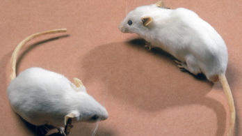 A rágcsálók egyelőre megússzák a genetikai népirtást