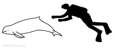 A kúposfejű delfin és az ember aránya