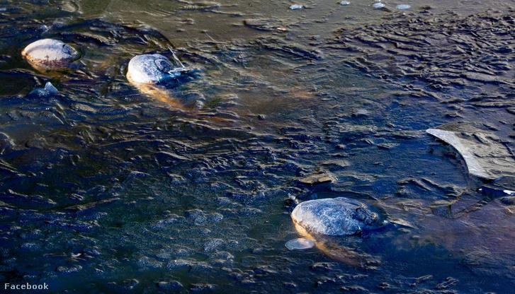 A mocsárba fagyott aligátorok orrai
