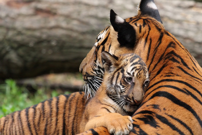 tigris 1