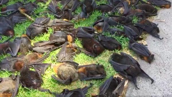A hőségben elpusztult repülőkutyák tetemei az ausztráliai Singleton városában