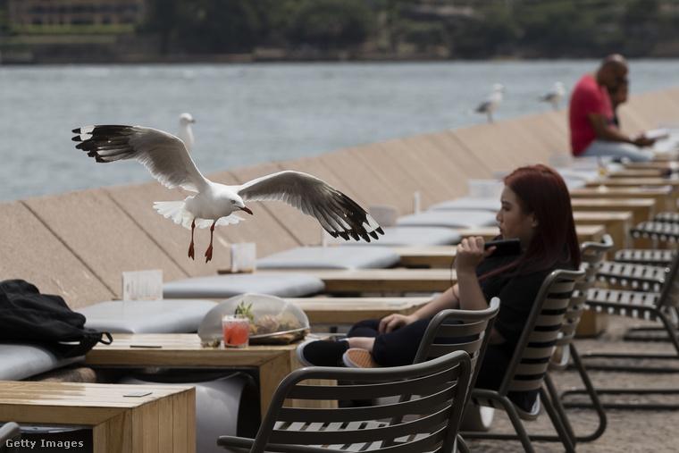 Az éhes sirályok ugyanis nem átallanak lecsapni a környék éttermeibe beülő vendégek ebédjére.