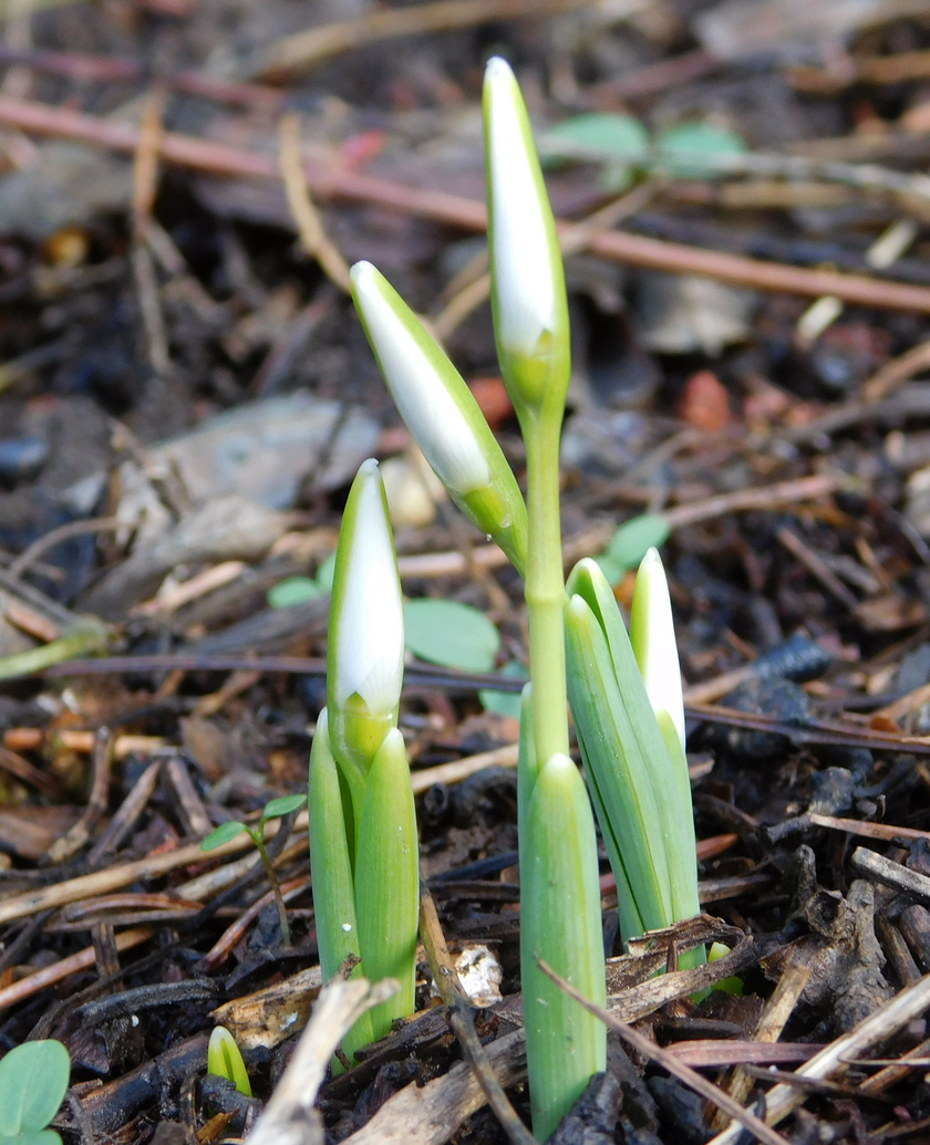 Bár sokszor még röpködnek a mínuszok, a hóvirágok már a tavaszra készülnek.