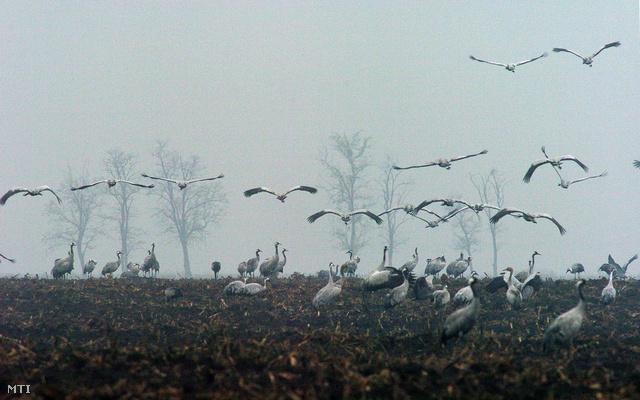 2004. november 19. Vonulnak a szürkedarvak a Körös-Maros Nemzeti Park kardoskúti területén
