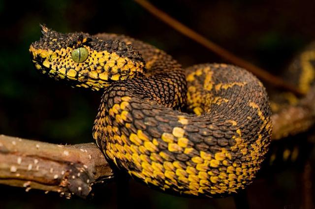 Atheris matildae (Matilda szarvasviperája)