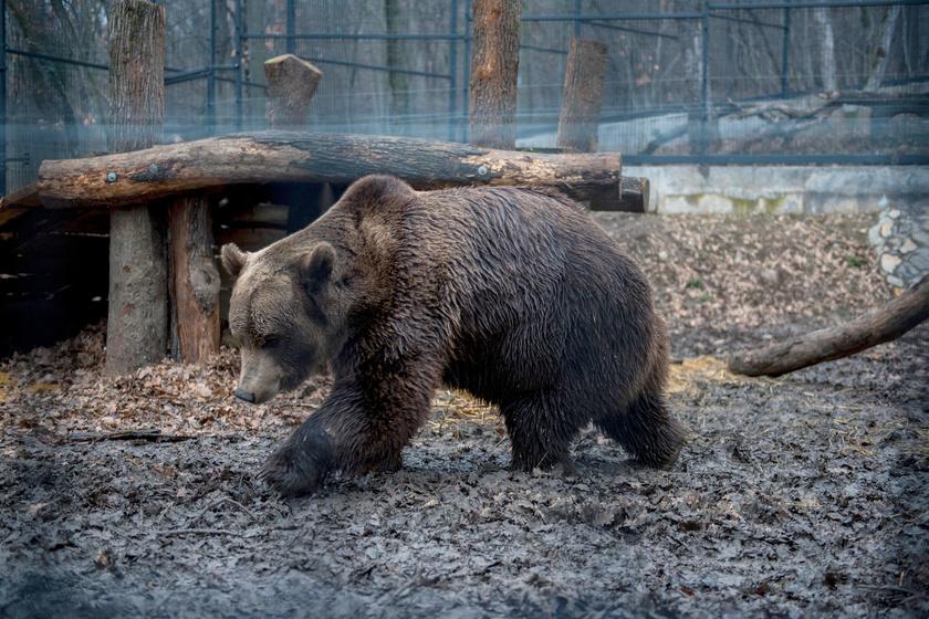Nikoláj, a pécsi állatkert barnamedvéje a tavalyi árnyékmegfigyelés során.