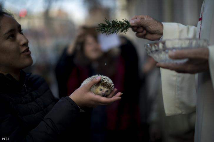 Sündisznót áld meg egy katolikus pap Remete Szent Antal, a háziállatok védőszentje ünnepének alkalmából Barcelonában 2019. január 17-én.