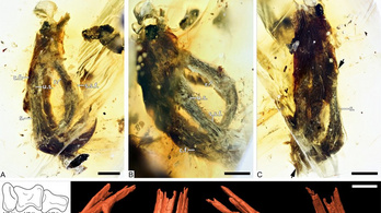 Félcentis madárlábat találtak egy 100 millió éves borostyánkőben
