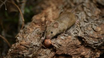 A szemünk előtt zajlik az egerek evolúciója
