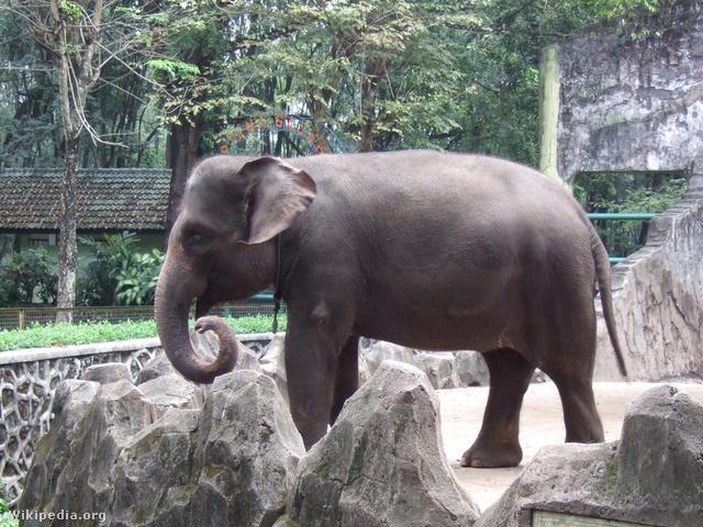 Sumatra elephant Ragunan Zoo 3