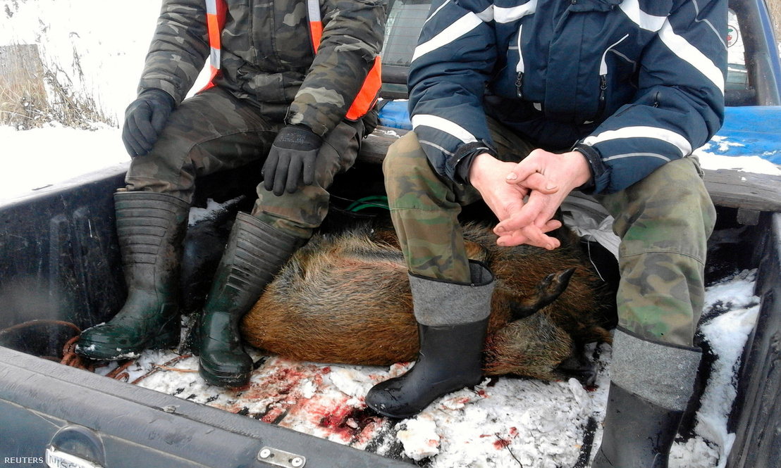 Kilőtt vaddisznók egy terepjárón Lengyelországban