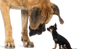 Tényleg okosabbak a nagytestű kutyák?