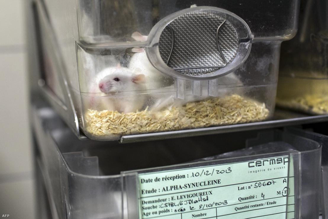 Laboratóriumi egér a lyoni idegtudományi kutatóközpontban