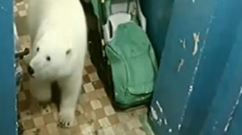 Jegesmedvék miatt hirdettek szükségállapotot az orosz sarkvidéken