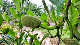 Ez a növény menti meg a világot az éhezéstől?
