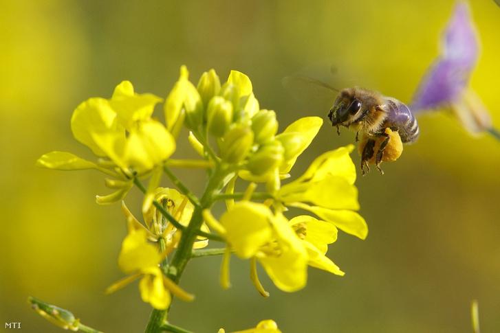 Méh egy virágzó fehér mustáron (Sinapis alba)