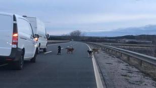 Már a négysávos főúton szaladgálnak a pásztói kóbor kutyák