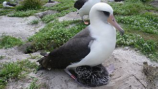 68 évesen újra anya lett Wisdom, a világ legöregebb madara