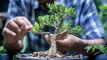 A meglopott házaspár levélben kéri a tolvajoktól, odaadóan gondozzák a lenyúlt bonszai fákat