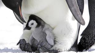 Miért nem fázik a pingvinek lába?