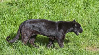 Száz év után láttak megint fekete párducot Afrikában