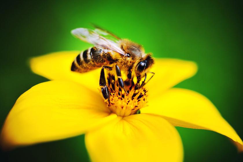 A méhek képesek összeadni és kivonni: érdekes módszerrel bizonyították be