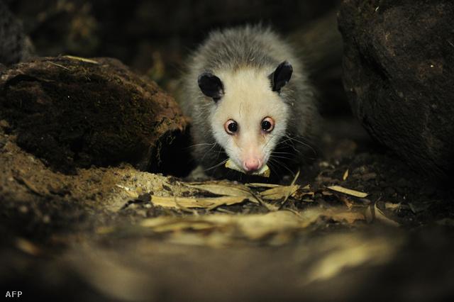 Heidi, a lipcsei állatkert nemrég kimúlt kancsal oposszuma
