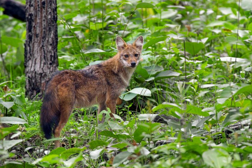 Sokan összetévesztik a rókával a ragadozót: Magyarországon egyre több van belőle