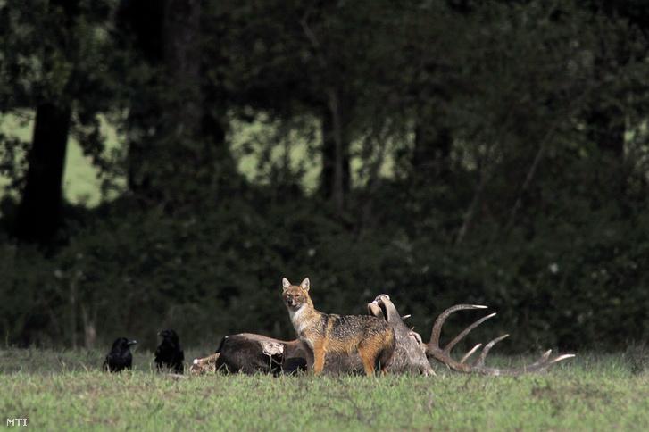 Hollók (Corvus corax) és egy aranysakál (Canis aureus) egy verekedésben elpusztult gímszarvas bika (Cervus elaphus) teteménél a Somogy megyei Böhönye környékén 2017. szeptember 17-én